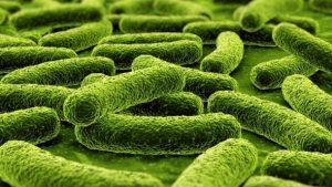 Bifidobacterium Lactis