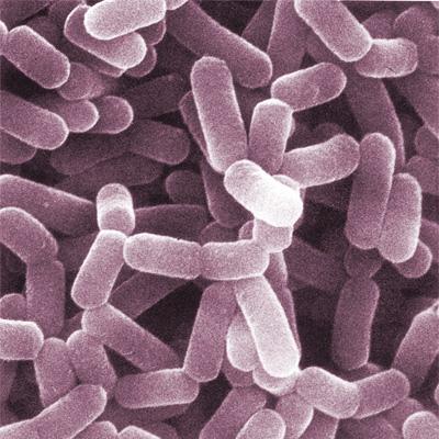 Lactobacillus-casei