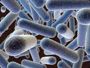 Lactobacillus Gasseri