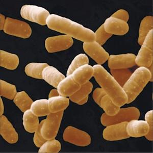 Lactobacillus Salivarius