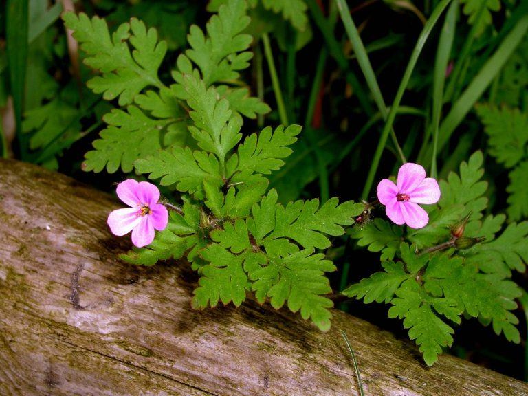 Geranium herb