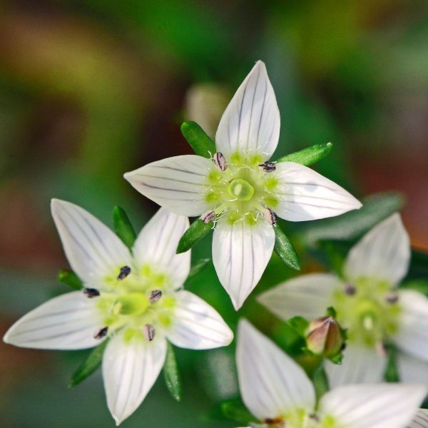 Swertia herb