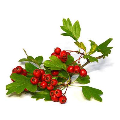 Hawthorn berries 1