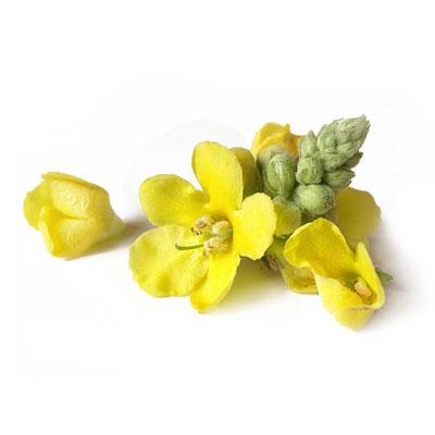 Mullein flower 1